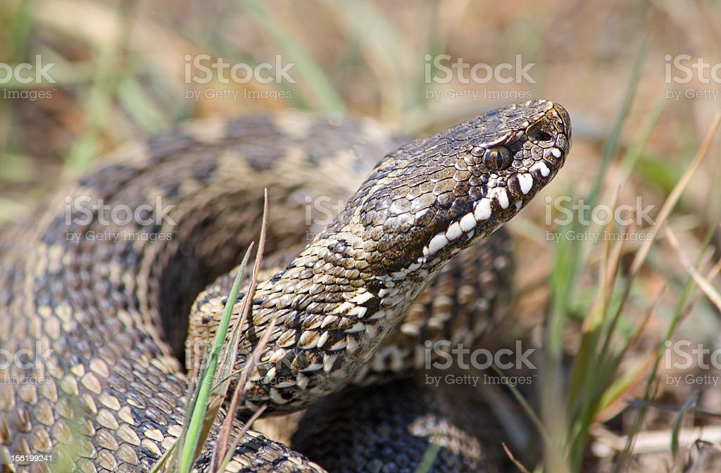Meadow viper stock photo