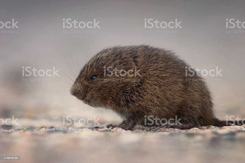 Meadow Vole (Field Mouse), Goose Bay, Labrador royalty-free stock photo