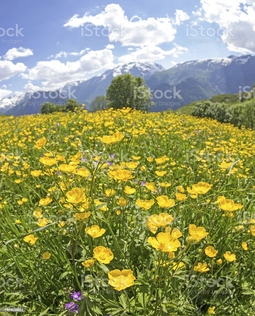 Meadow, wildflower in french Alps royalty-free stock photo