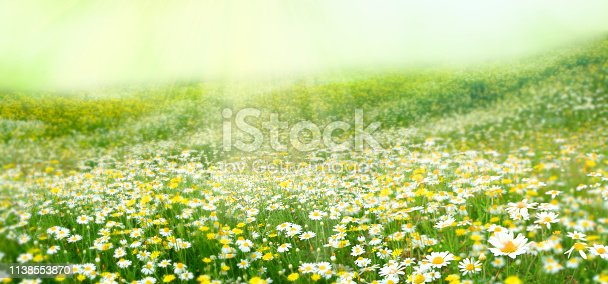 Summer background. Meadow with a flower of camomiles