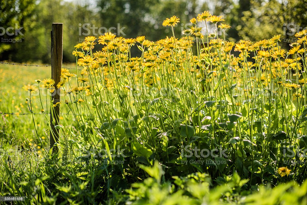 Meadow with a wooden picket fences and yellow flowers – zdjęcie