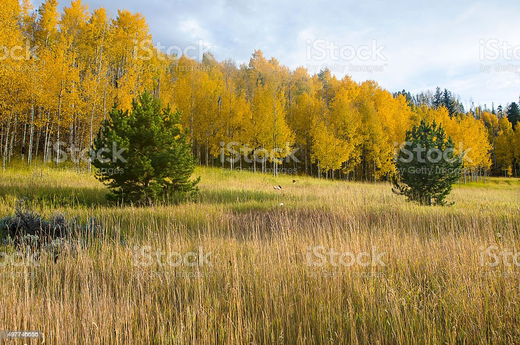Meadow with Aspens at Peak Color in the Rockies stock photo