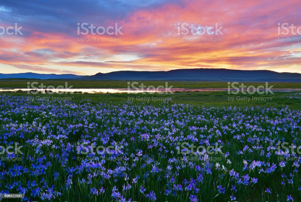 Meadow with blooming Iris flowers stock photo