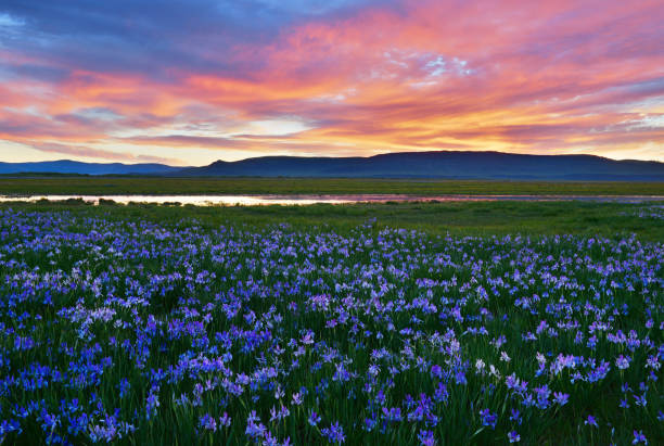 meadow with blooming iris flowers - iris flower stock photos and pictures