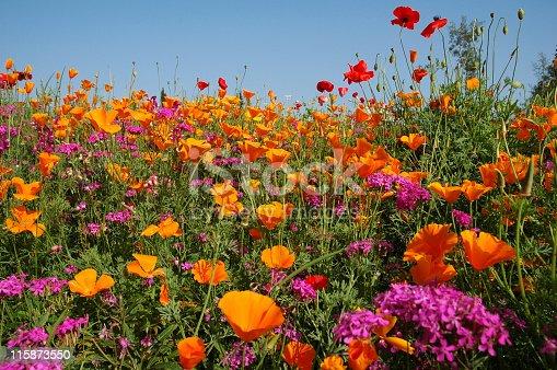 Meadow with orange and purple  wildflowers blooming in summer.