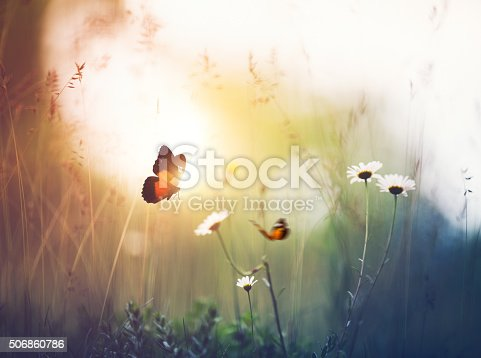 Orange butterflies flying around flowers. Summer meadow at sunset.