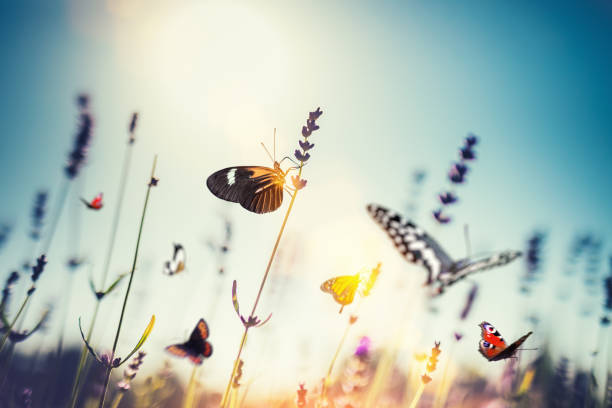 Meadow With Butterflies Colorful butterflies in lavender field. tranquil scene stock pictures, royalty-free photos & images