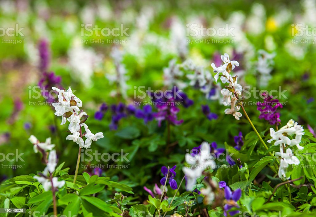 Meadow with Corydalis flowers of different colors stock photo