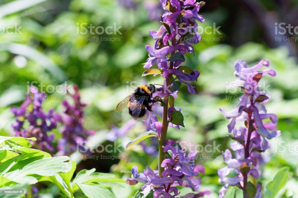 Wiese mit Corydalis Blumen in verschiedenen Farben - Lizenzfrei Baumblüte Stock-Foto