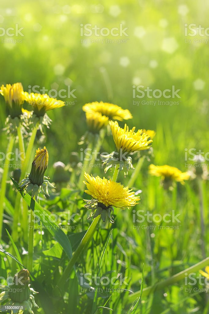 Meadow with dandelions royalty-free stock photo