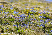 Meadow with Forget-me-not flowers on the way to Mt Washburn, Yellowstone National Park