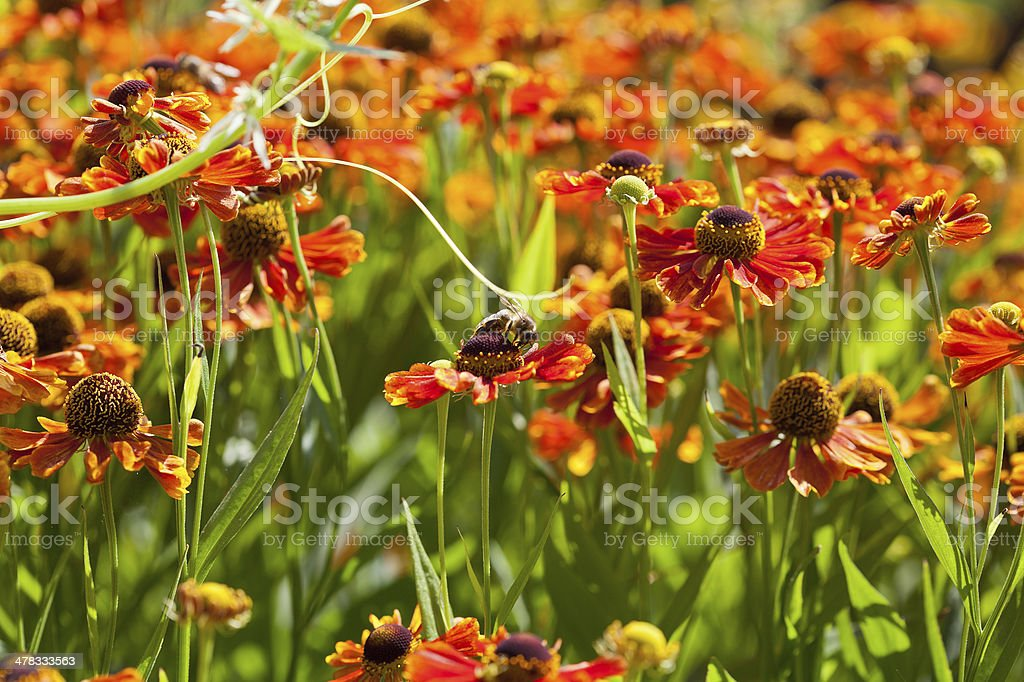 meadow with gaillardia flowers and honey bees royalty-free stock photo