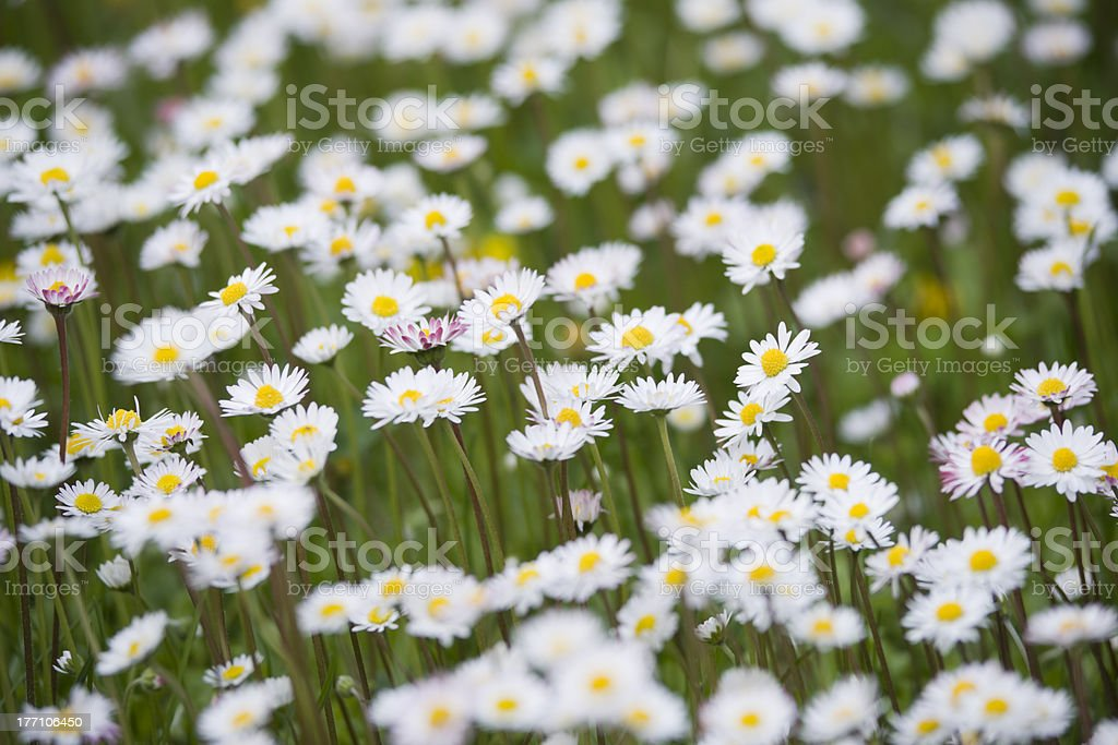 meadow with goose flowers royalty-free stock photo