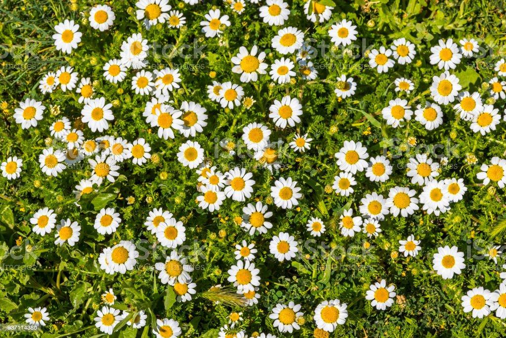 Meadow with green grass and white daisy flowers - Zbiór zdjęć royalty-free (Bez ludzi)