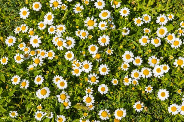 prado con hierba verde, flores de margarita blanca - planta de manzanilla fotografías e imágenes de stock