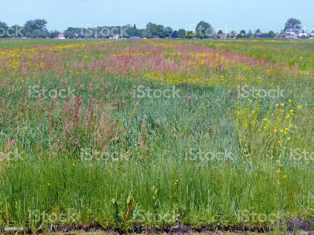 Meadow with many wild plants, somewhere in the Green Heart of Holland stock photo