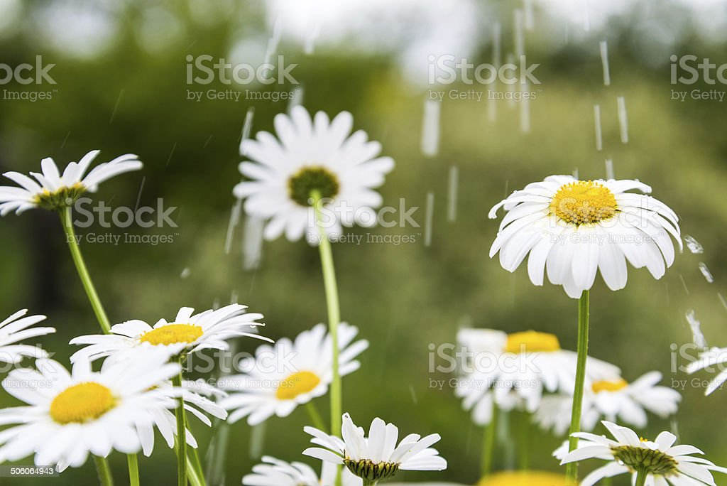 Meadow with marguerites in rain. stock photo
