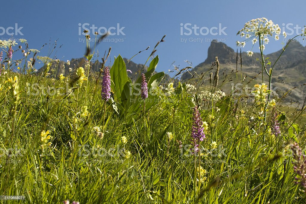 Meadow with Orchids, French Alps royalty-free stock photo