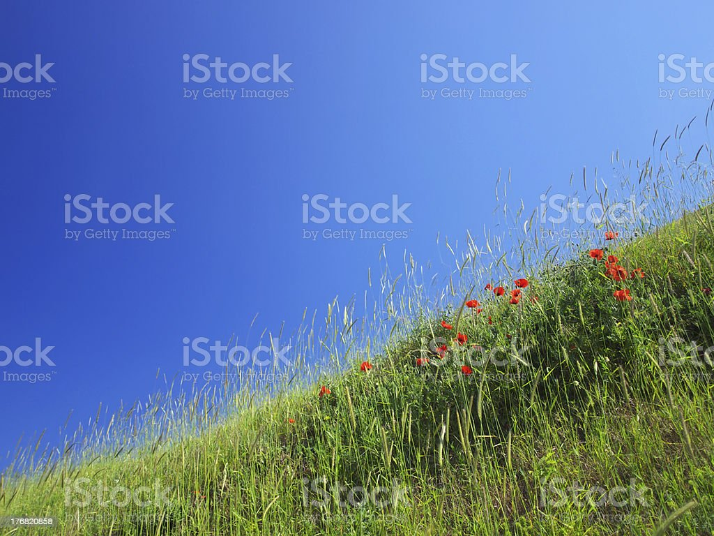 meadow with poppy royalty-free stock photo