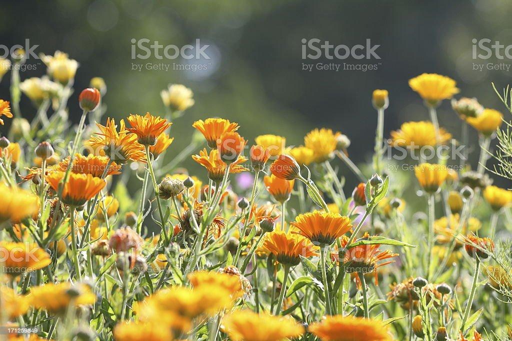 Wiese mit Gartenringelblume-calendula officinalis – Foto