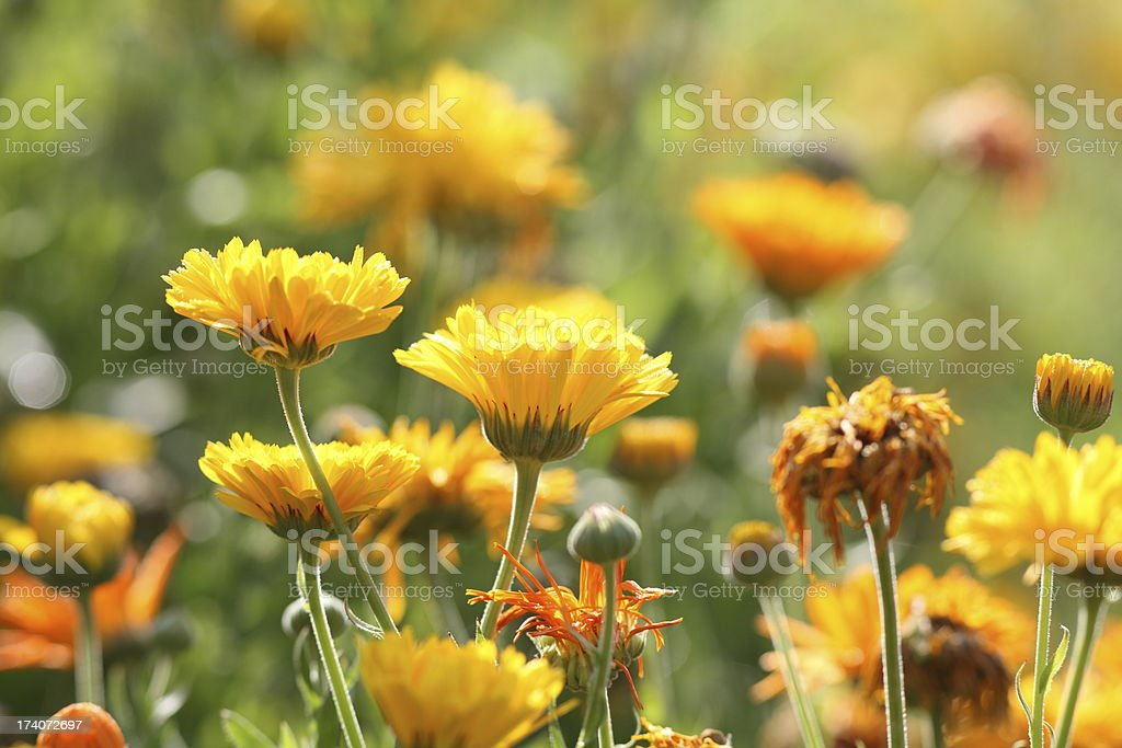 meadow with pot marigold - calendula officinalis royalty-free stock photo