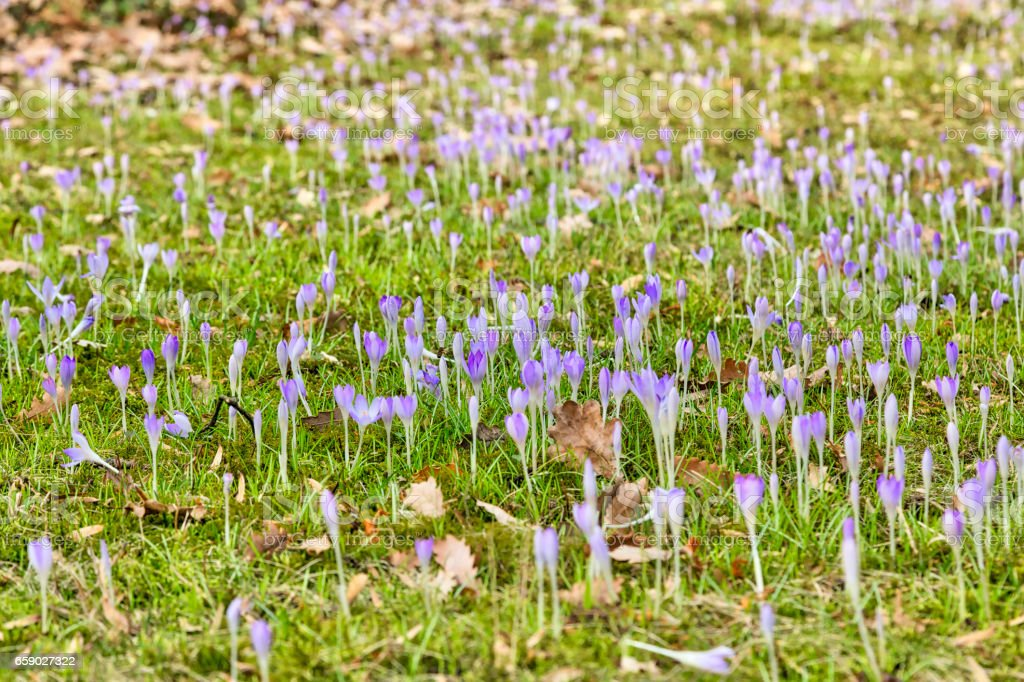 meadow with purple  crocuses in spring royalty-free stock photo
