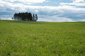 little spruce forest on a meadow in the spring