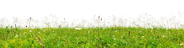 Meadow with summer flowers isolated on white. stock photo
