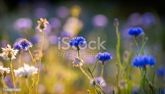 Back lit Cornflowers with morning dew.