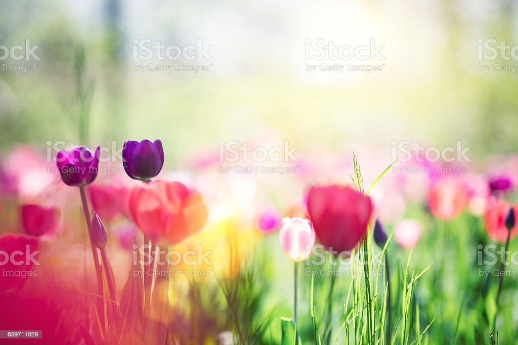 Meadow With Tulips stock photo
