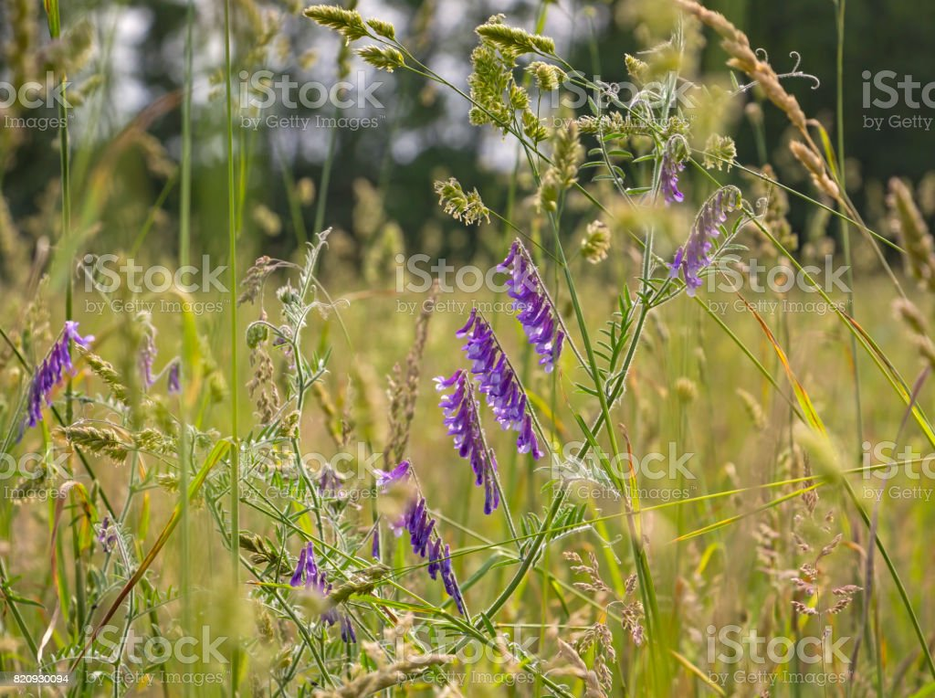 Meadow with various herbs and flowers stock photo