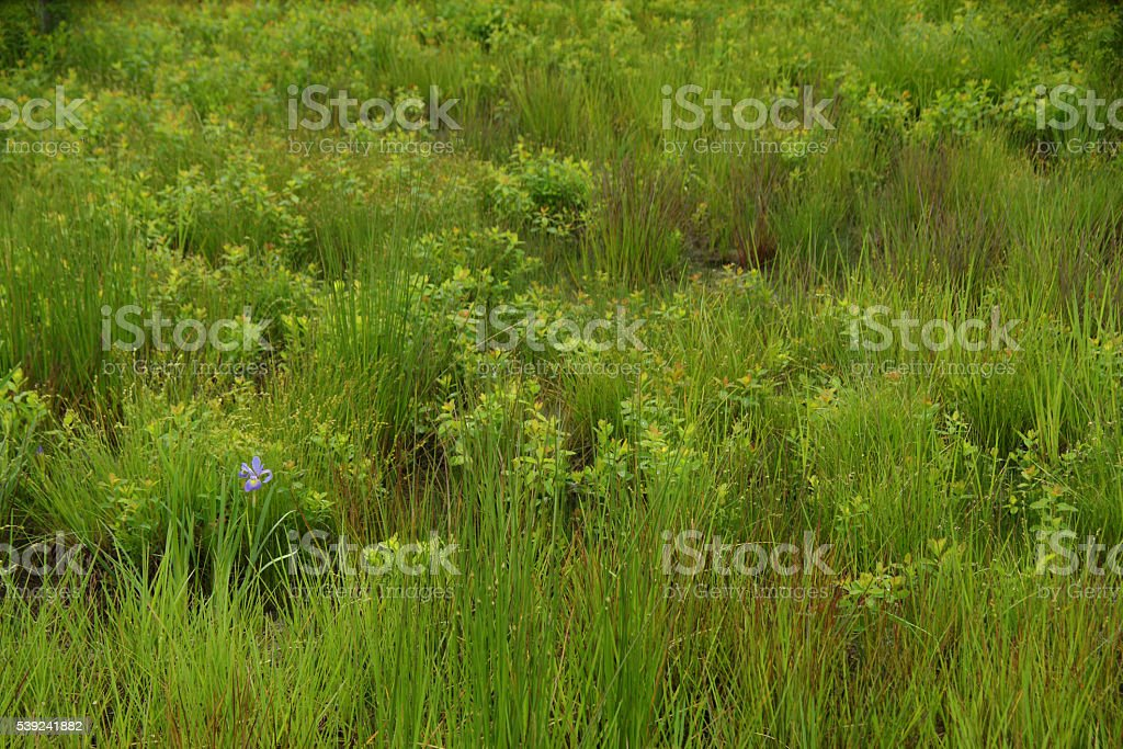 Meadow with wild iris royalty-free stock photo