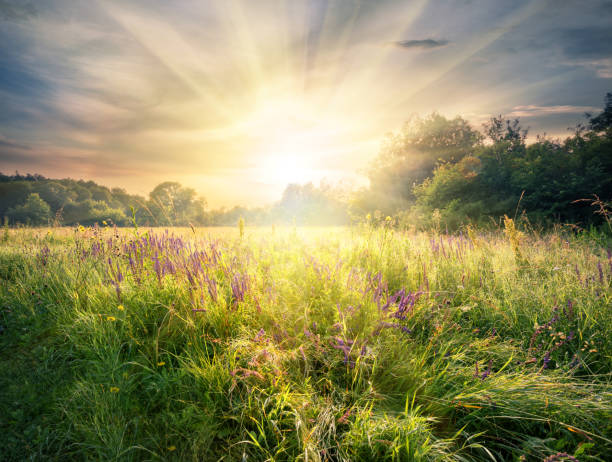 Meadow with wildflowers under the bright sun Meadow with wildflowers under the bright sun. Summer landscape. sunrise stock pictures, royalty-free photos & images