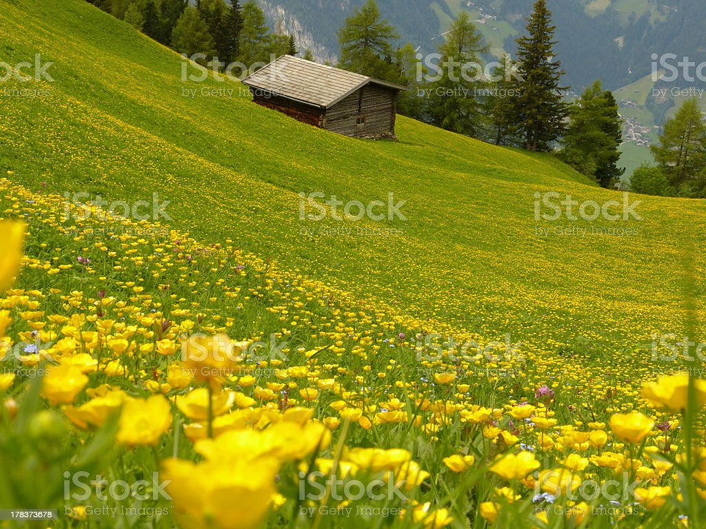 meadow with yellow flowers wooden house in the background royalty-free stock photo
