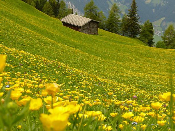 Wiese mit gelben Blüten Holz-Haus im Hintergrund – Foto