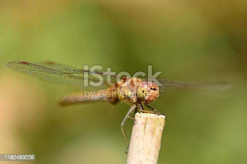 Meadow in summer time: single meadowhawk ( Sympetrum) resting on top of a stem.