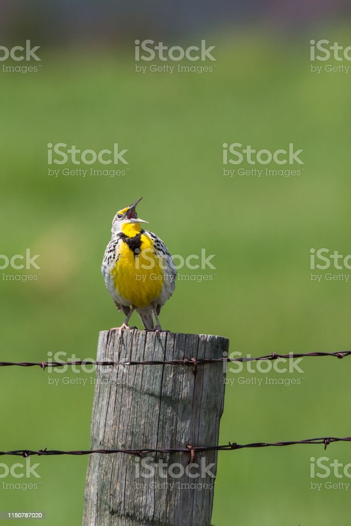 Meadowlark singing - Royalty-free Bird Stock Photo