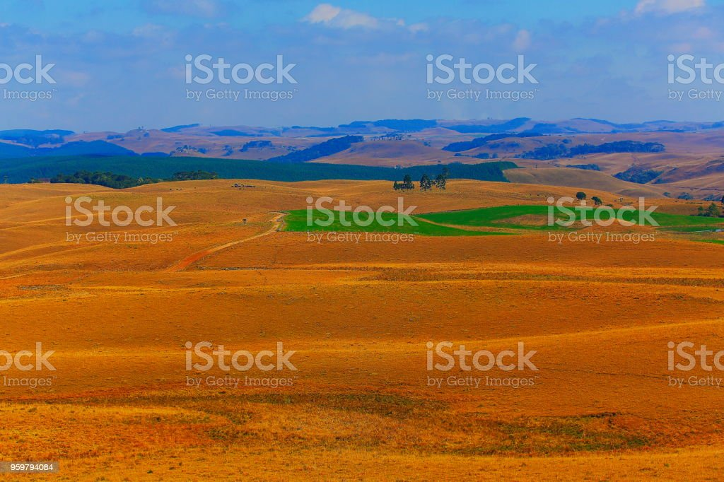 Meadows and Araucarias at sunrise, Southern Brazil countryside landscape stock photo