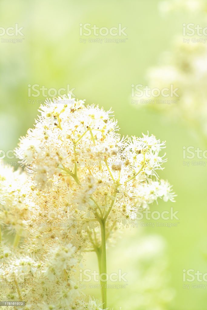 Meadowsweet royalty-free stock photo