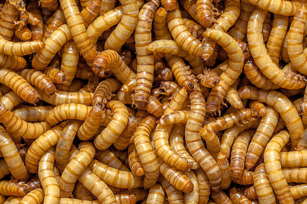 Mealworm Background stock photo
