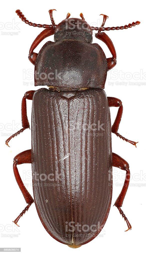 Mealworm Beetle on white Background stock photo