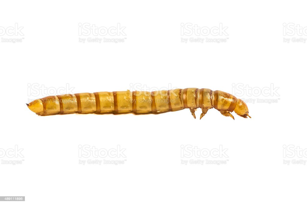 Mealworm close up side view stock photo