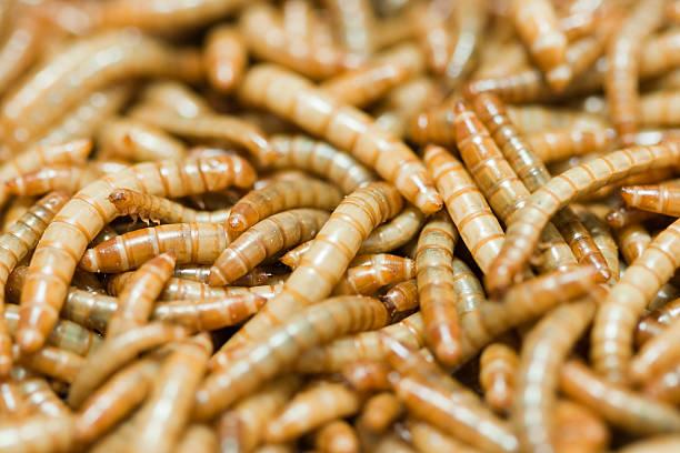 mehlwurm - pengpeng stock-fotos und bilder
