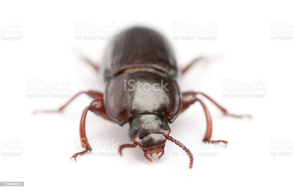 Mealworm, Tenebrio molitor, in front of white background stock photo