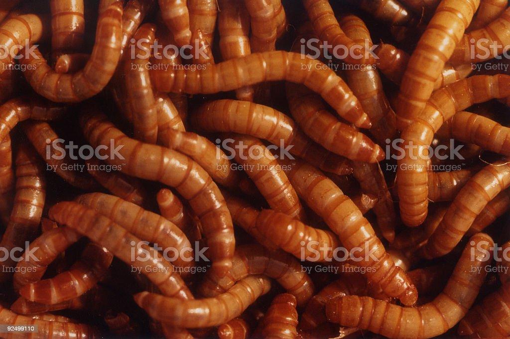 mealworms, Tenebrio molitor royalty-free stock photo