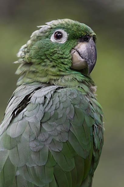 Mehlig Papagei Nahaufnahme – Foto