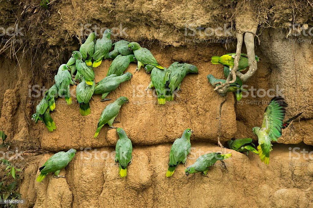 Mealy Parrots at a Clay Lick stock photo