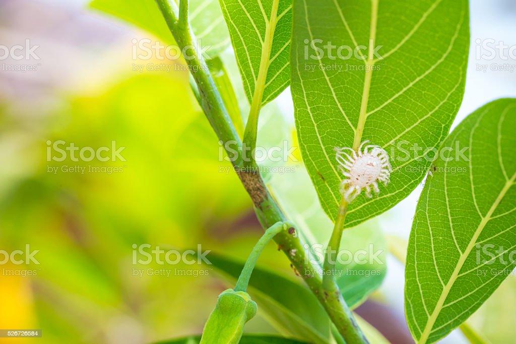 Mealybug, Pseudococcus sp. on custard apple leaf stock photo