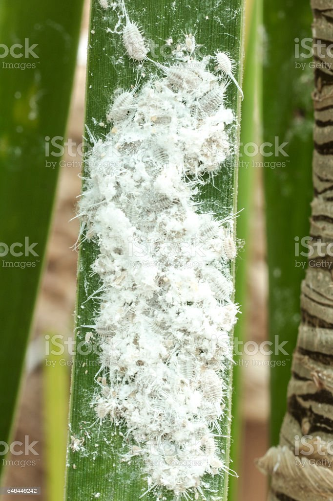 Mealybugs (long-tailed pseudococcus) on a palmtree leaf stock photo