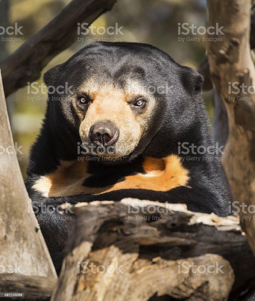 Mean Face Sun Bear royalty-free stock photo